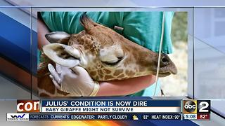 Md. Zoo: Giraffe's outlook is 'dim' - Video