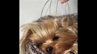 Pampered Pooch Enjoys Head Massage - Video