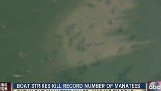 Boat strikes kill record number of manatees - Video