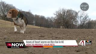 Cases of heart worms on the rise in KC - Video