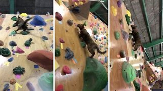 Mount e-fur-est next? Nimble cat becomes viral star as she scales climbing walls in leaps and bounds