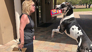 Great Dane strives to be the best delivery boy ever