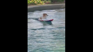 Pup Cruises A Pool In A Remote Controlled Boat