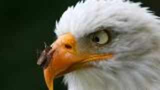 What's Happening to Bald Eagles?