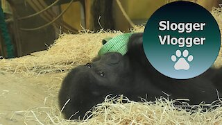 Baby Gorilla Indigo Plays With The Ribbon Part 1/2