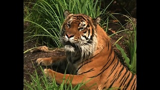 Tiger Takes Swimming Lessons - Video