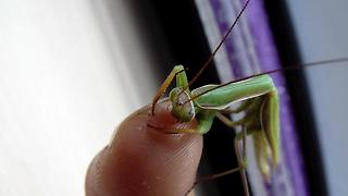 Praying Mantis eats my finger - Video