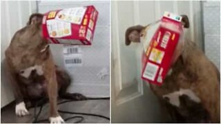 Dog tries to steal food and gets head stuck in box