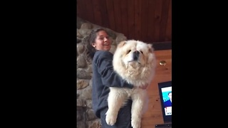 Giant fluffy dog loves to be held - Video