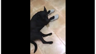Funny dog loves to wear owner's Crocs