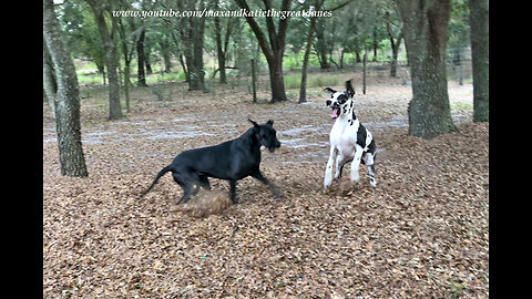 Great Danes Love to Play in The Piles of Leaves
