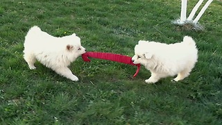 Samoyed puppies adorably play tug of war - Video