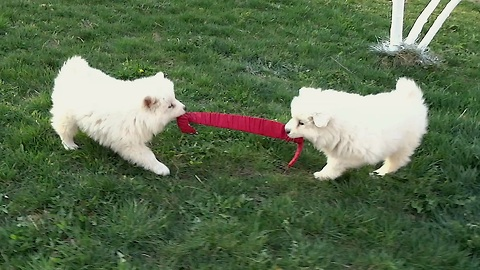 Samoyed puppies adorably play tug of war