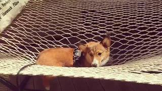 Orso the Corgi enjoys relaxing hammock - Video