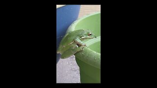 Tree Frog on my Porch