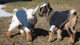 Glorious Mini Goats Play Dressed in Lovely Jumpers