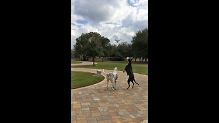 Great Danes unsure about drone, try to eat it