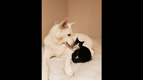 Kitty Playing With White Shepherd