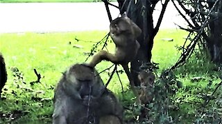 Older baboon patiently tolerates playful baby baboons