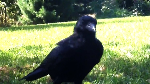 Rescued crow speaks to his family
