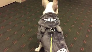 French Bulldog models 'Totoro' Halloween costume