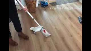 Cockatoo Dusts the Floor With Human Help - Video