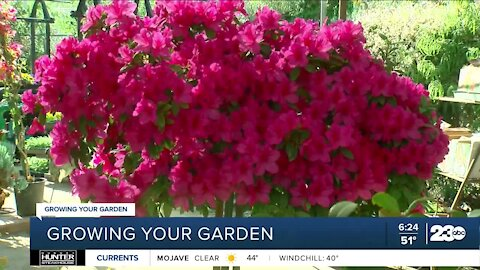 Growing Your Garden: When to prune your azaleas