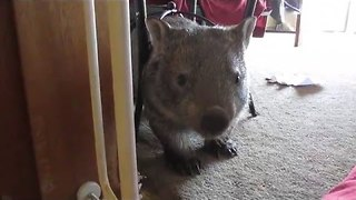 Grace the Wombat Making a Mess When Nobody Is Looking - Video