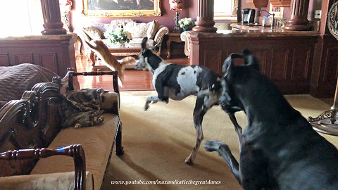 Great Danes Choose Tug Of War Over Pestering The Cat