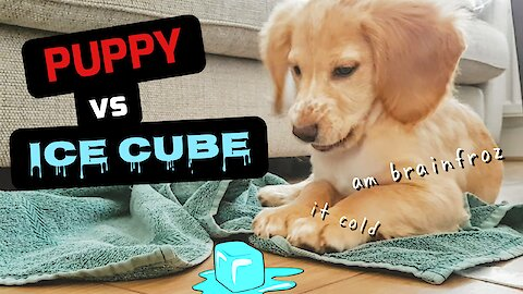 Puppy plays with ice cube for the first time