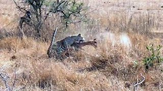 Stealthy leopard leaps out at unsuspecting impala  - Video