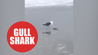 Moment greedy seagull scoffs baby shark in a single bite - Video