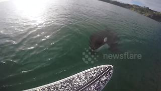 Killer whale swims under paddleboarder - Video