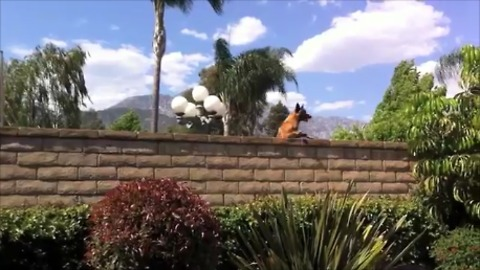 Nosy neighbor dog repeatedly jumps to see over wall
