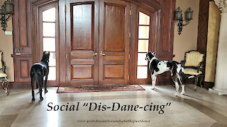 Social Distancing Great Dane Watch Dogs Thank Delivery Drivers