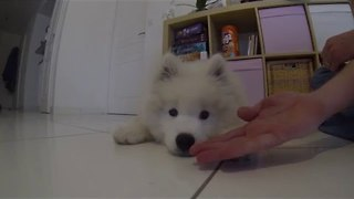 Fluffy Samoyed Pup Shakes Paws - Video