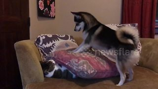 Pomeranian Husky Tries To Shoo The Cat Off The Sofa - Video