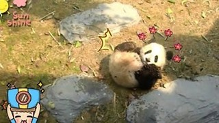 Adorable Panda Cub Shows Off His Rolling Skills - Video