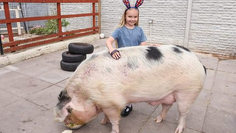 Best mates with a 43 stone pig! Seven year old Alice treats Rocky just like a human friend