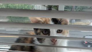 Rescue kitten obsessed with window blinds