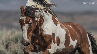 The life and legend of America's most famous wild horse