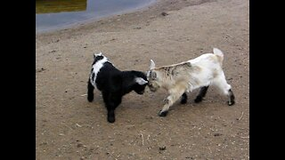 Baby goats fight!
