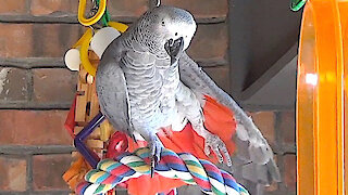 Talking parrot performs a relaxing yoga session
