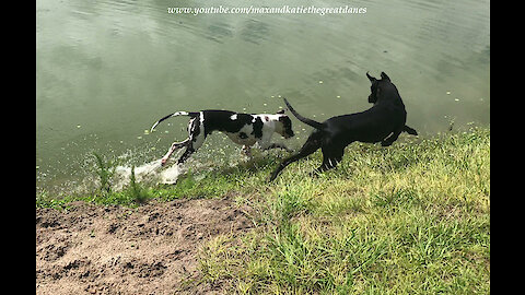 Great Danes Love To Race Each Other Around Their Pond Speedway