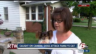 Caught on camera: Dogs attack family's cat - Video