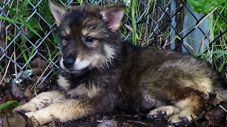 Orphaned wolf-dog puppies enjoy playtime after rescue - Video