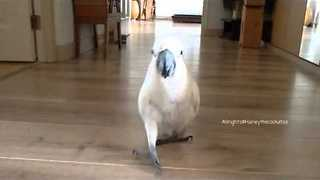 Cockatoo Plays Fetch Just Like a Dog - Video
