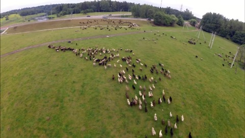 Creative shepherd uses drone to herd sheep