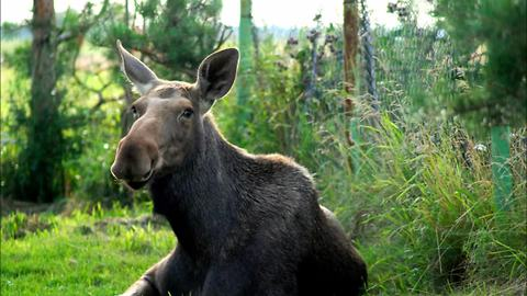 Wild orphaned moose calf enjoys life on the farm