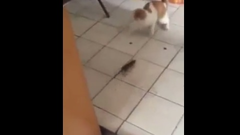 Fearless rat chases down cat!